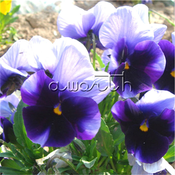 Blue Purple & White Viola Pansy 100 Seeds DIY Home Garden Bonsai Landscape Container Flower for Fall Winter