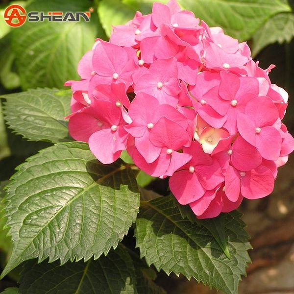semillas semillas hortensia rosa roja balcn bonsai flor de la planta de fort viburnum hortensia macrophylla bonsai unidades lot