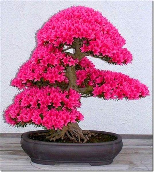 20pcs de graines de sakura japonaises Bonsai Tree, fleur de bonsaï, fleurs de cerisier, graines de mini-fleurs