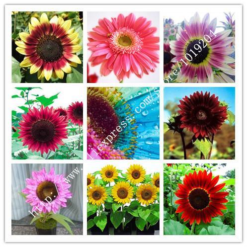 45PC Mini Rainbow sunflower seeds, nine species of rare, pink, red Sunflower seeds,Ornamental bonsai plants