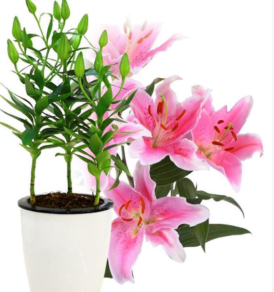 bulbes multicolores de safran jardin lys boule parfumée lis Lilium Casa Blanca graines de jardinage fleurs fraîches réglables