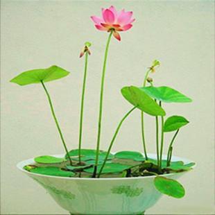 Mezcle Mini $ 5 Semillas de flores perennes Semillas de loto de muchos colores Enseñe a sembrar el Loto, 12 piezas de semillas de lirio de agua