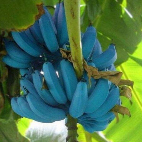 100 pz / borsa rari semi di banana blu, bonsai semi di frutta verdura albero da frutto seme semi di cimelio organico pianta per la casa giardino