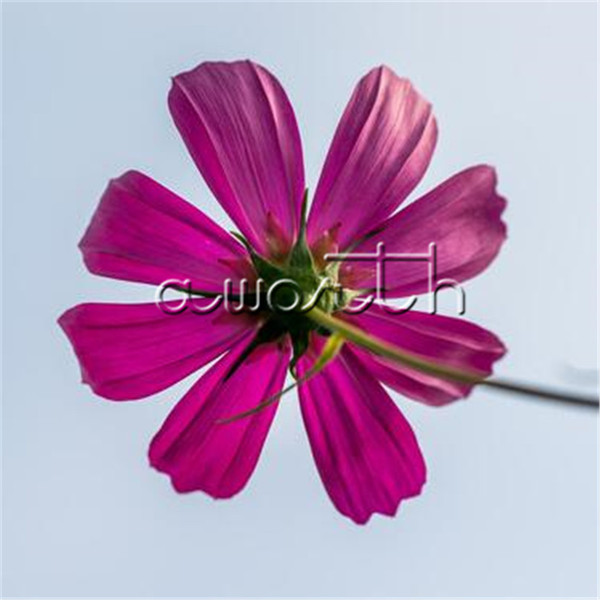 Purple Red Cosmos Flower 500 Pcs Cosmos bipinnata Flower Seeds / Bag Easiest Grow Landscape Pot Plant Flower