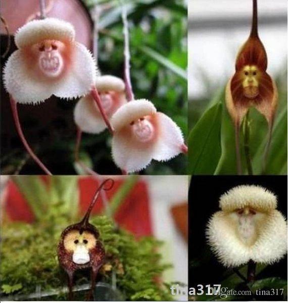 Flower pots planters Beautiful Monkey face orchids seeds Multiple varieties Bonsai plants Seeds for home & garden 50 pc seeds 1748