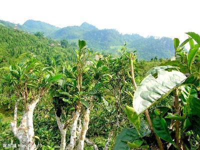 100 CAMELLIA sinensis Green Tea Seeds Fresh Fragrant Rare chinese tea seeds Free shipping