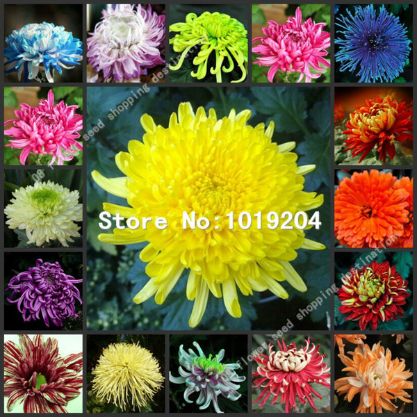 100 PC colorido sementes de crisântemo, sementes de flores coloridas, belas sementes de plantas em vasos