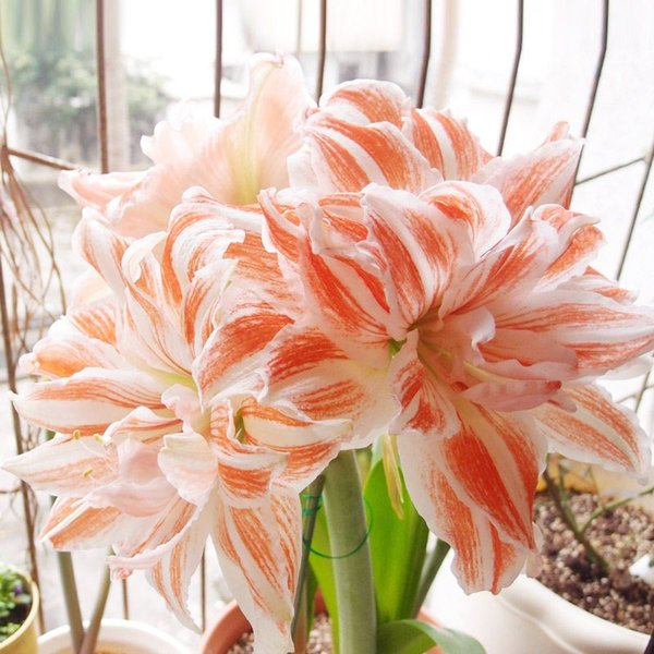 100 Pcs//lot Amaryllis Seeds Cheap Chinese Flower Seeds Barbados Lily Potted