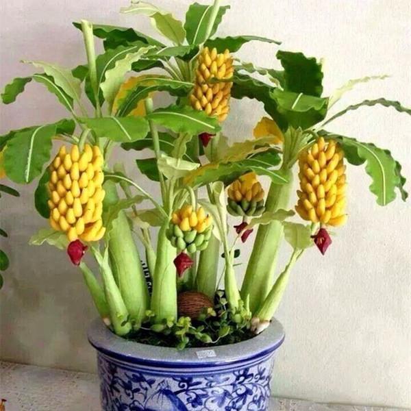 100 pz / borsa Bonsai Giallo Semi di Banana Bonsai Seme di Frutta Subtropics Seme di Frutta Vegetale, semi di Heirloom organico Per La Casa Giardino