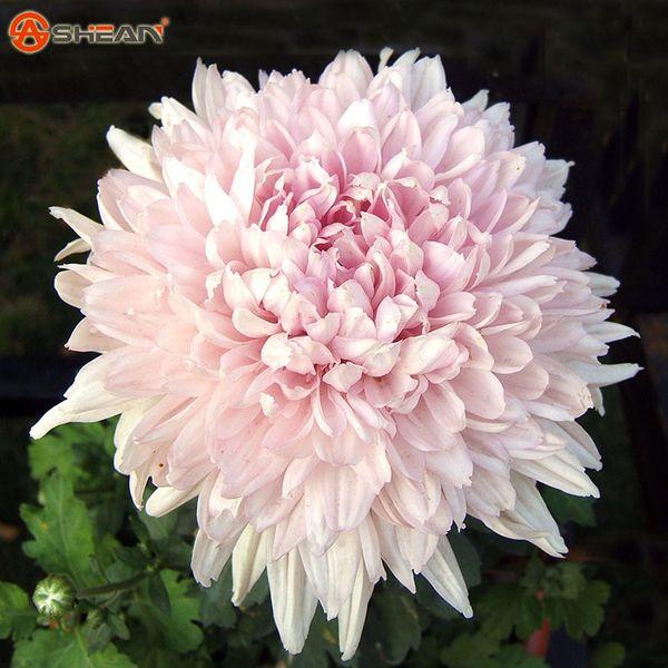 100 adet / torba Güzel Işık Pembe Krizantem Tohumları Krizantem Morifolium Tohumları DIY Bahçe Çiçek Saksı Bitki