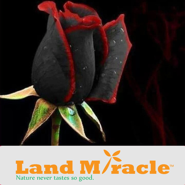 Professional Pack, Beautiful Red-Black 100 Rose Flower Seeds per Pack, Only $1.99 High Survival Land Miracle
