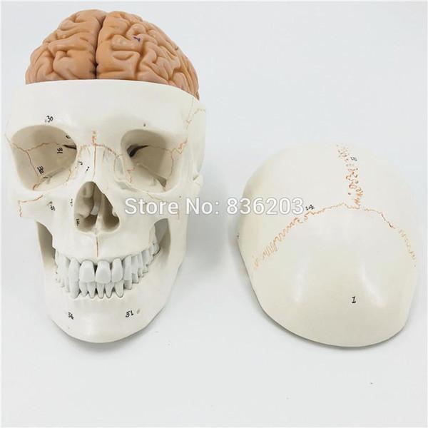 Al por mayor- Cráneo numerado de tamaño de la vida humana con el modelo de la anatomía del cerebro esqueleto veterinario anatomía del cerebro anatomía ciencia Cráneo explotado