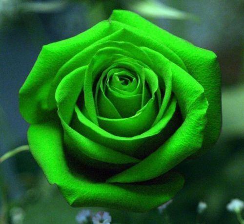 100 Stücke seltene grüne Rose Samen Liebhaber Rosesamen schöne Blume Symbolismus Liebe mehrjährige exotische Pflanzen Blumen Balkon Garten Hof