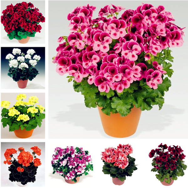 Mixed color 100 pcs/bag geranium seed Perennial bonsai flower seeds Pelargonium Peltatum Seeds potted geranium for home garden planting