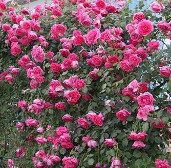 Rotin ce mois-ci Jiqiangwei a augmenté de jeunes plants en pot de grandes fleurs balcon odorant cour grimpante Vigne plantes vertes