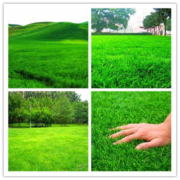 Big Promotion 100pcs High Quality Moss Lawn Grass bonsai for mini Home Garden Fresh Green Soft Runner Turfgrass Bonsai Plants