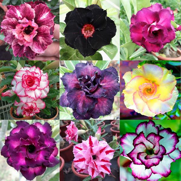 10 PCS, 9 Cores Adenium Obesum Sementes Misturadas, Duplo Desert Rose Flor Bonsai Planta de Plantas Perenes DIY DECORAÇÃO DA CASA