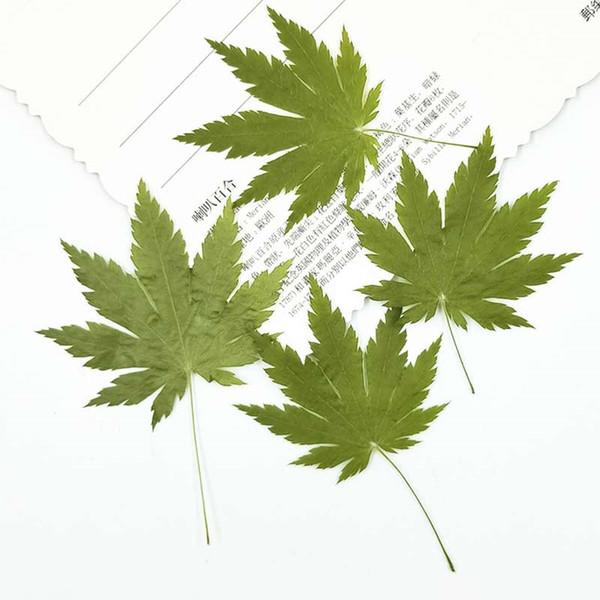 2019 Green Maple DIY handmade Teaching Raw material dried flower, Press flower True Plants For Nail Card ornament Free Shipment