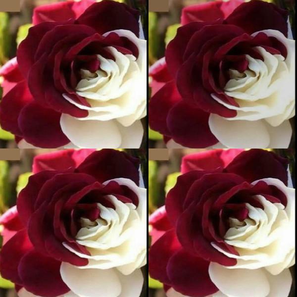 100 Stücke Billig Seltene Weiße und Rote Blumensamen Rose Adenium Obesum Blume Mehrjährige exotische Pflanzen Balkon Garten Hof Samen