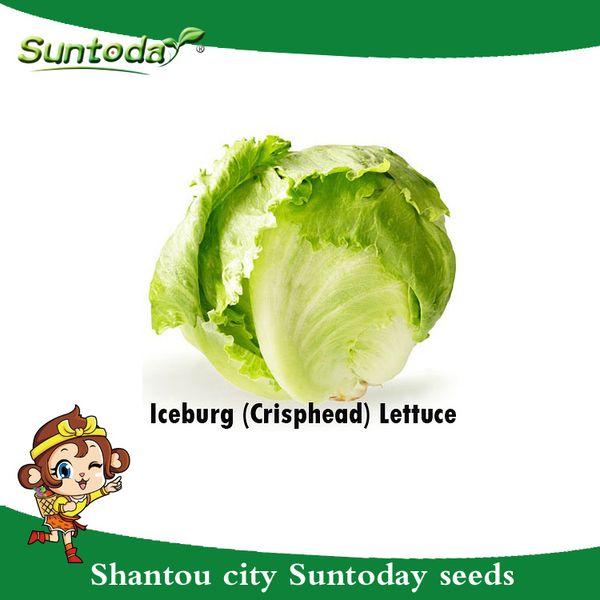 Suntoday LEAF Tropical ICEBERG CRISPHEAD LETTUCE Lactuca Sativa Vegetable Seeds Asian Garden Plant Hybrid Non-GMO Organic Fresh Seeds