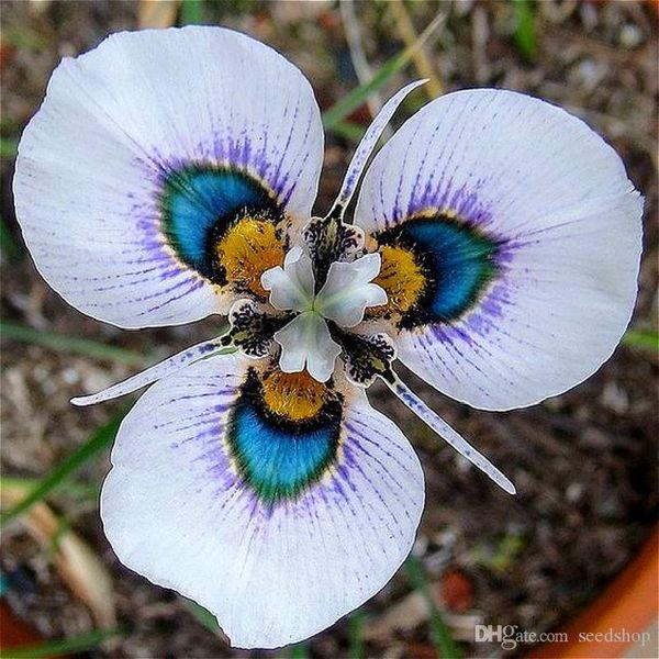 100 Grani Semi di orchidea farfalla rara Semi di fiori Piante da orchidea in vaso da interno Pianta molto facile Graines De Fleurs Rares Garden