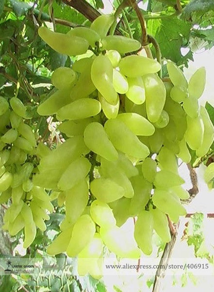 100% True Golden Finger Green Sweet Grape Organic Seeds, Professional Pack, 15 Seeds / Pack, Hardy Plant Delicious Fruit E3088