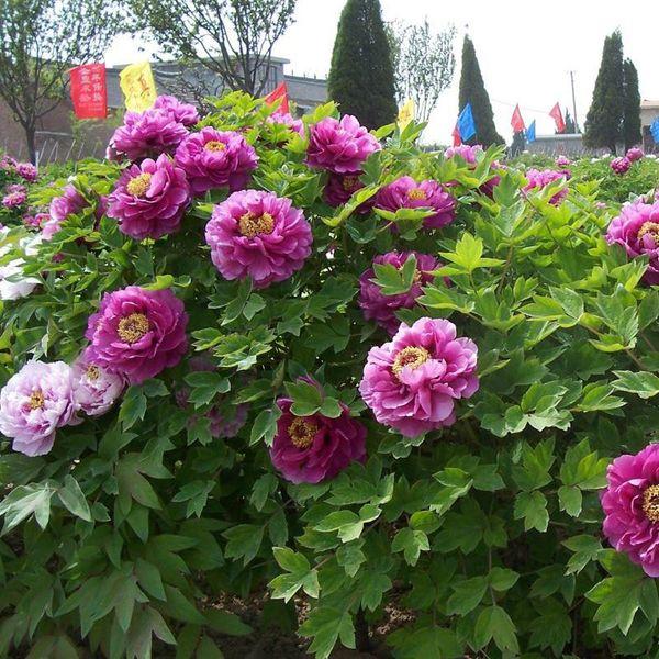 Lila Pfingstrose Blumen Topfpflanzen Samen Schöne Hof Terrasse Garten Gepflanzt Chinesische Paeonia suffruticosa Samen 10 STÜCKE