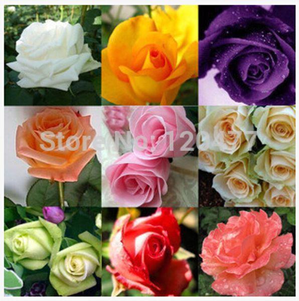 Semillas de flores Semillas de rosa Bonsai Rosa Negro Blanco Rojo Púrpura Verde Amarillo Azul Colores del arco iris Semillas de rosas para el jardín de su casa -300 piezas
