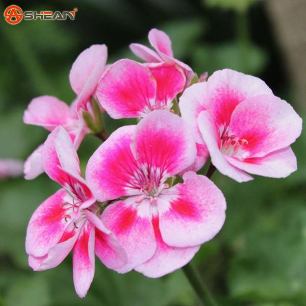 20 Pièces / Sac Rare Papillon Rose Univalve Geranium Graines Graines De Fleurs Vivaces Pelargonium Peltatum Graines Pour Les Chambres Intérieures