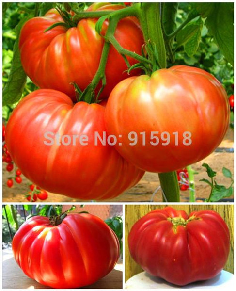 Fruits vegetables seeds 50pcs Giant Tomato ''Belmonte''!Delicious! Edible! Free shipping!