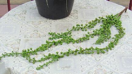 نباتات خضراء