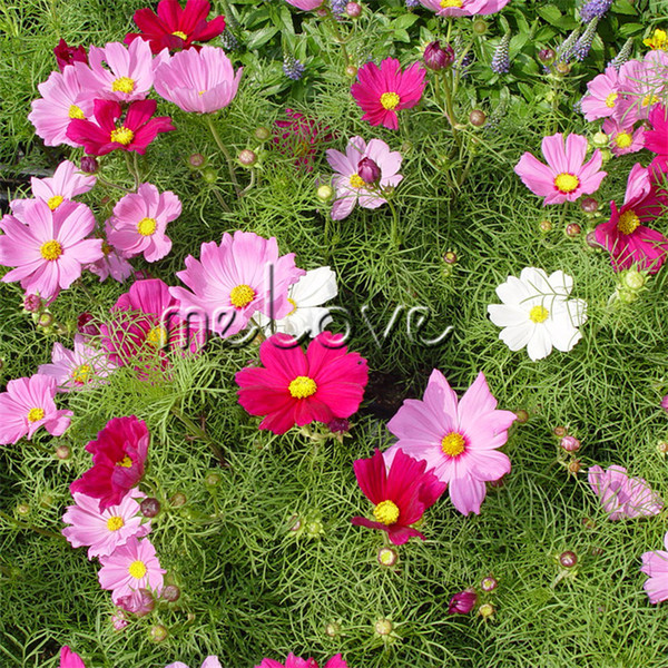 Cosmos Dwarf Variety Flower 500 Seeds Mix Color Easiest Grow Landscape Pot Plant Flower High Germination
