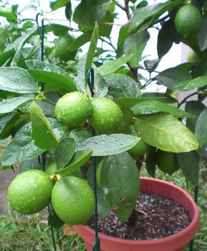 Narenciye aurantiifolia 50 Tohumlar / paketi Bonsai Limon Tohumları Meyve Tropikal Limon Ağacı Tohumları Bahçe Için