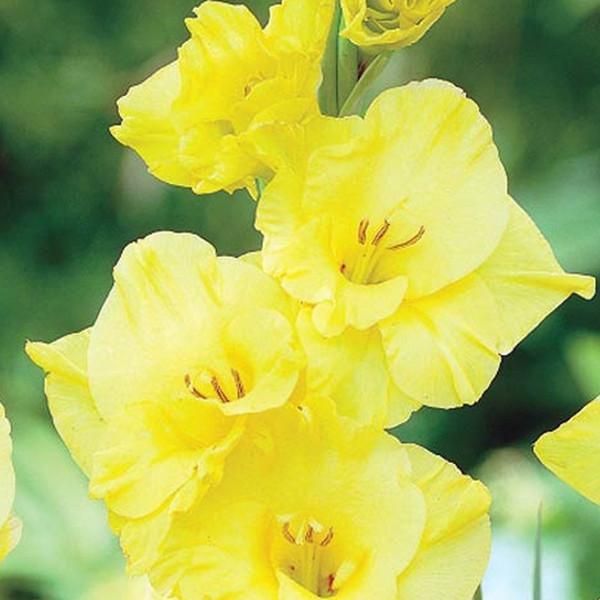 Gelbe Gladiolen Samen Garten und Terrasse Garten Topfblumen Gladiolen Blumensamen Mehrjährige 100 partikel / tasche