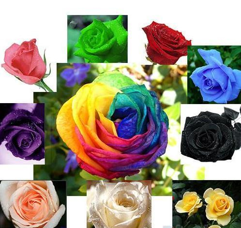 New Colourful Rainbow Rose Seeds Purple Red Black White Pink Yellow Green Blue Rose Seeds Plant/Garden Beautiful Flower seeds 1666