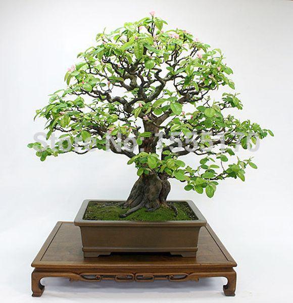 Coing chinois, fruitier bonsaï - Graines de fruits - 10 PCS SEEDS