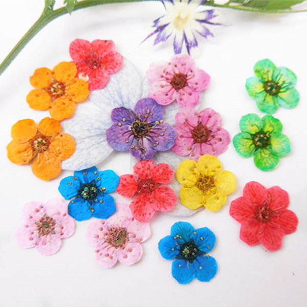 200Pcs Pressed Flowers Blossom Narcissus 12 Different Colors Dried Flower For DIY Home Ornament / Decorative Mirror Wholesales Free Shipment