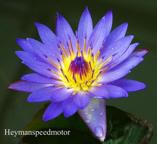 Acheter 1 Professional Pack, 1 Semences / Paquet, Dark Blue Lotus Bleu  Chine Water Lily Pad Fleur Étang Seeds  NF171 De $4.01 Du Heymanspeedmotor