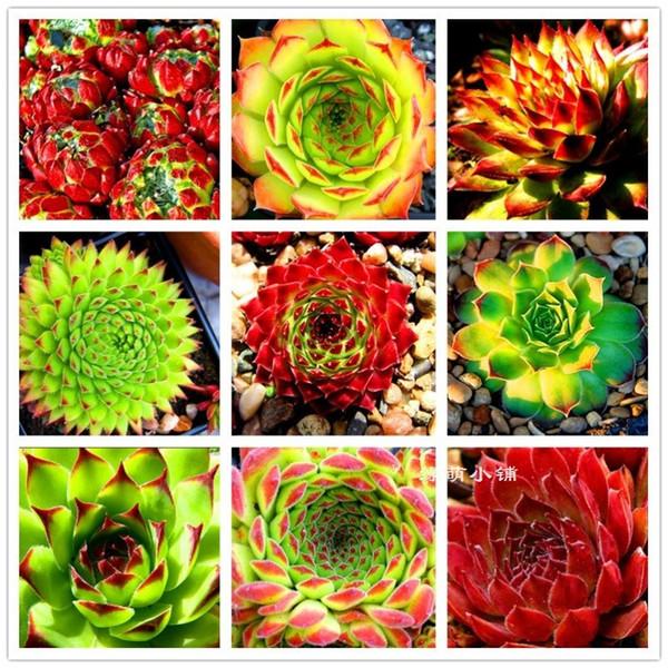 Semi di Piante Succulente Fresche 30 Semi Home Rock Garden Splendida Foglia Rotonda - Rare Misto ECHEVERIA Purpusorum Seeds Spedizione Gratuita