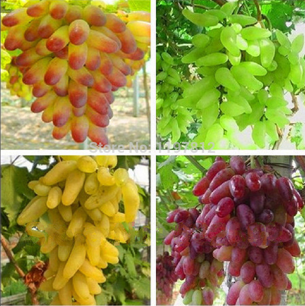 Free shipping, Senior Courtyard Plants , Delicious Fruit , Gold Finger Grape Seeds , 4 Kinds mixed colors total 80 Seeds
