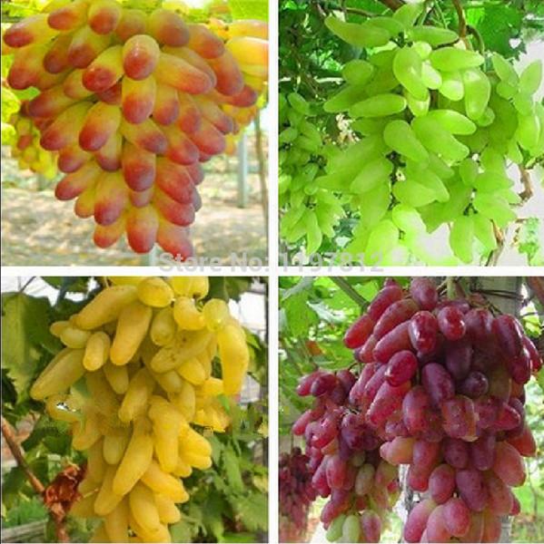 Livraison gratuite, Senior Courtyard Plantes, fruits délicieux, graines de raisin Gold Finger, 4 sortes de couleurs mélangées total 80 graines