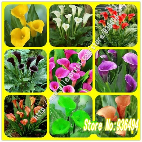 Bonsai seeds, 200 PC senior callas seeds, flower seeds, and colorful calla lily seed