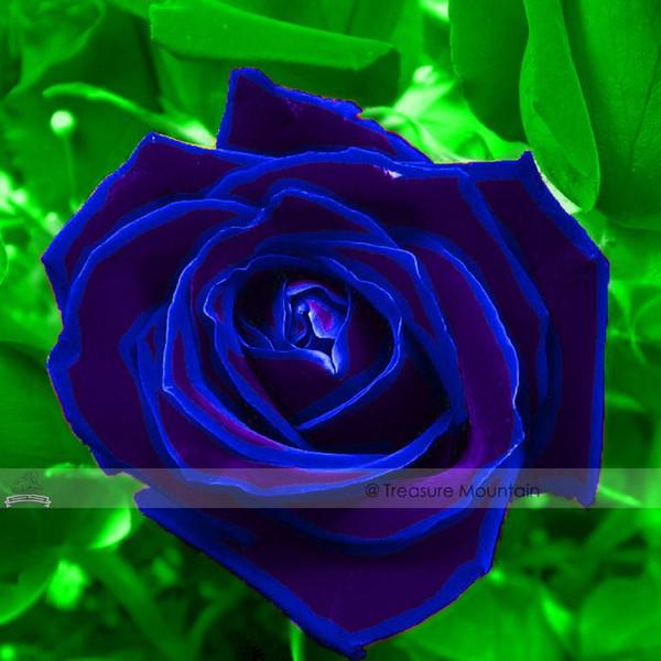 1 Profesyonel Paketi, 50 tohumlar / paketi, Mor Mavi Gül Büyük Çiçekli Bitkiler Güçlü Kokulu Göz Kamaştırıcı Bahçe Çiçek # NF410