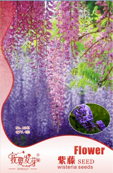 3 Packs, 4 seeds / pack, Blue Chinese Wisteria Vine, Wisteria sinensis, Seeds (Fast, Showy)#A241