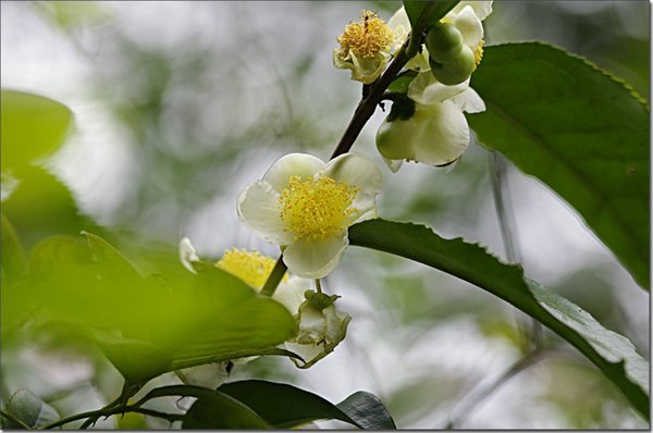 50 CAMELLIA sinensis Green Tea Seeds Fresh Fragrant Rare chinese tea seeds Free shipping