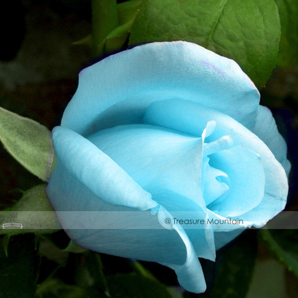 1 Professional Pack, 50 seeds / pack, F1 Light Blue Rose Plant Seed #NF414