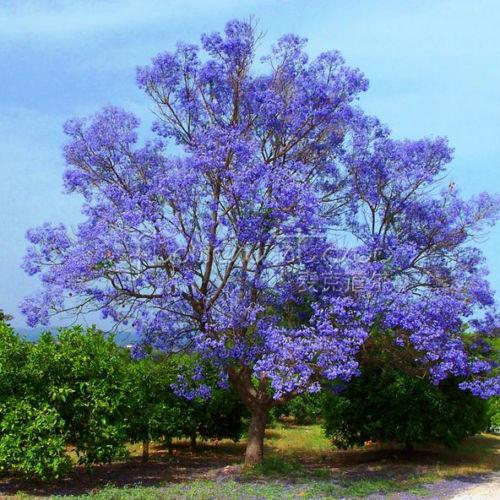 20 SEMI DI ALBERO JACARANDA BLU (Felce / Legno di rosa brasiliano / Ebano verde)