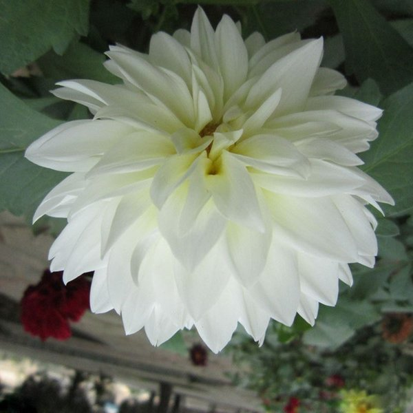 Tipo Ordinally Yukako White Dahlia Seeds Bonsai Flores Para Jardín de DIY - 100 PCS Seeds