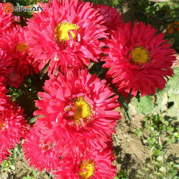 Un paquete de 100 piezas Red Callistephus Chinensis Semillas de flores Balcón Potted Bonsai semillas de flores Aster SeedPlant