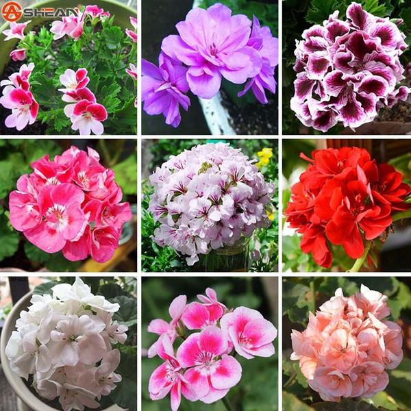 Ein Paket 20 Stücke Geranium Seeds Mehrjährige Blumensamen Pelargonium Peltatum Samen für Innenräume 17 Farben Erhältlich